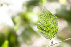Green leaf in sunlight . Green leaf in  the sunlight Royalty Free Stock Photography