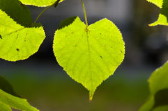 Green leaf in the sunlight in the form of heart. Royalty Free Stock Photos
