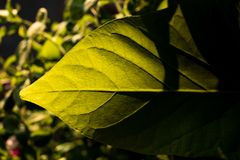 Green leaf with sunlight and a hard shadow royalty free stock photo