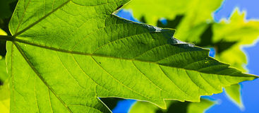 Green leaf. A green leaf on a sunny day Stock Image