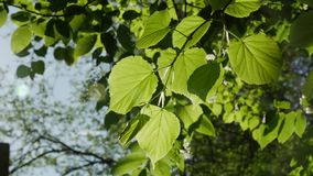 Green leaf the sunny day, close-up. stock footage