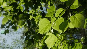 Green leaf the sunny day, close-up. stock video footage
