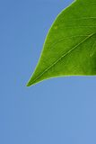 Green leaf in sunshine Royalty Free Stock Photography