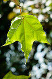 Green leaf. Sunshine bright indoor Stock Photography