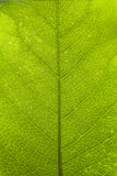 Green leaf surface. A spring green leaf surface macro shot Stock Photos