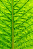 Green leaf surface Royalty Free Stock Photo