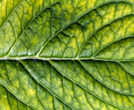 Green leaf surface. Royalty Free Stock Photography