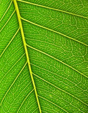 Green leaf surface close up. Background. Stock Photography