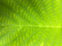 Green leaf surface closed up texture background Stock Photos
