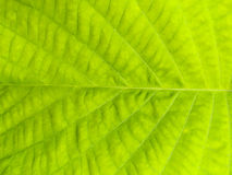 Green leaf surface for texture Royalty Free Stock Photography