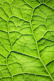 Green leaf surface texture Stock Images
