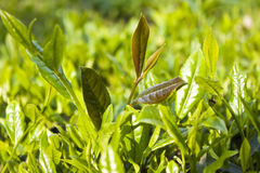 Green leaf of tea. Green and fresh leaves of tea in tea garden of iran gilan Stock Photography