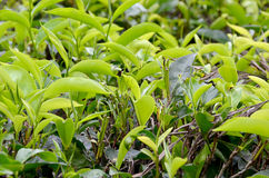 Green leaf tea plant growing photo Stock Photos