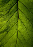 Green leaf teak. Texture and background Stock Image