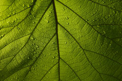 Green leaf teak. Texture and background Stock Photos