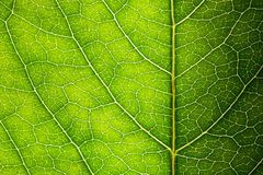 Green leaf texture Stock Images