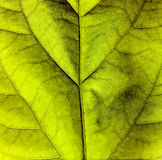 Green leaf texture. Close up on a green leaf Stock Image