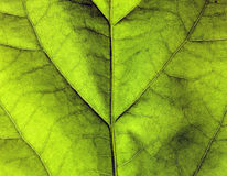 Green leaf texture. Close up on a green leaf Royalty Free Stock Photography