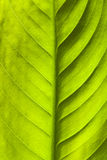 Green leaf texture. Natural abstract Royalty Free Stock Images