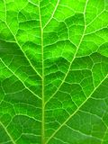 Green leaf texture. Close-up of green spring leaf texture Stock Image