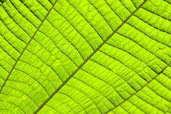 Green Leaf Texture. Green Leaf With Texture as Background Stock Image