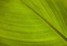 Green leaf texture. Leaf texture royalty free stock photography