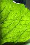 Green leaf texture. Royalty Free Stock Photography