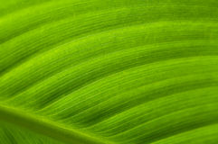 Green Leaf Texture. Backlit large green leaf showing cell structure Stock Photos