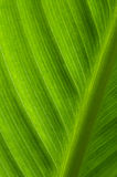 Green Leaf Texture. Backlit large green leaf showing cell structure Stock Photo
