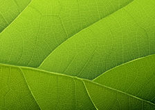 Green leaf texture. Royalty Free Stock Images