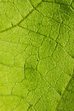 The green leaf texture Royalty Free Stock Photo