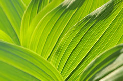 Green leaf texture. Green bright leaf background with veines Stock Photography