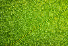 Free Green Leaf Texture Royalty Free Stock Photo - 47001545