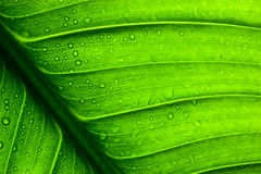 Green leaf texture Royalty Free Stock Photography