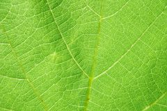 Green leaf texture. Can be used as background Royalty Free Stock Photography
