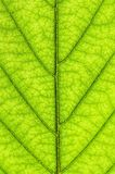 Green leaf texture Stock Image