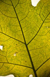 Green leaf texture. A green leaf texture as a background Royalty Free Stock Photo