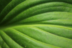 Green leaf texture for abstract background close up. Hosta leaf with pattern Stock Images