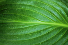 Green leaf texture for abstract background close up. Hosta leaf with pattern Royalty Free Stock Photo