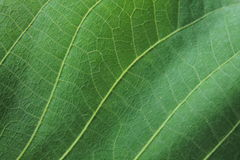 Green leaf texture for abstract background close up. Walnut leaf with pattern Royalty Free Stock Photos