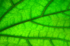 Green leaf texture,  abstract background Stock Photos