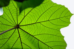 Green leaf texture,  abstract background Royalty Free Stock Photography