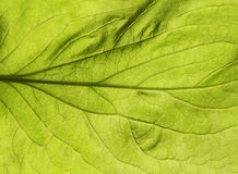 Green leaf texture. Abstract spring background Royalty Free Stock Photography