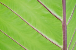 Green leaf texture for background.  Stock Image