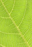 Green leaf texture Stock Photo
