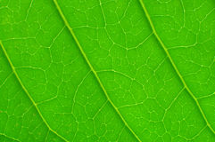 Green leaf texture for background Royalty Free Stock Photo