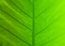 Green leaf texture for background Royalty Free Stock Image