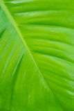 Green leaf texture background Royalty Free Stock Images