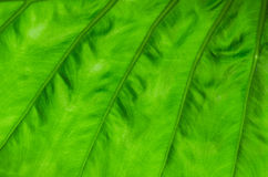 Green leaf texture background Royalty Free Stock Photo