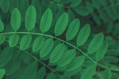 Green leaf  texture or background. Evergreen plant shoted close up. Ceative layout. Flat lay. Nature concept Royalty Free Stock Image
